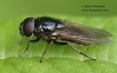 Cheilosia albitarsis 4