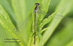 Coenagrion hastulatum 3