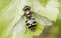 Dasysyrphus hilaris/venustus
