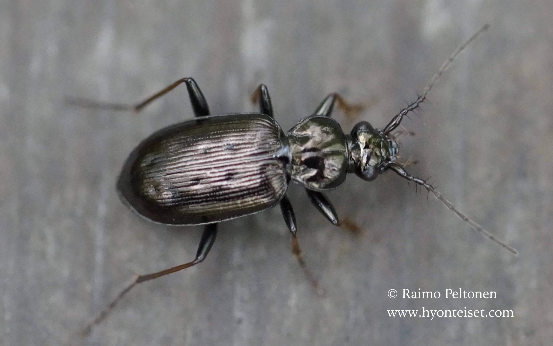 Loricera pilicornis-sukasarvikiitäjäinen, 19.6.2015 Jyväskylä