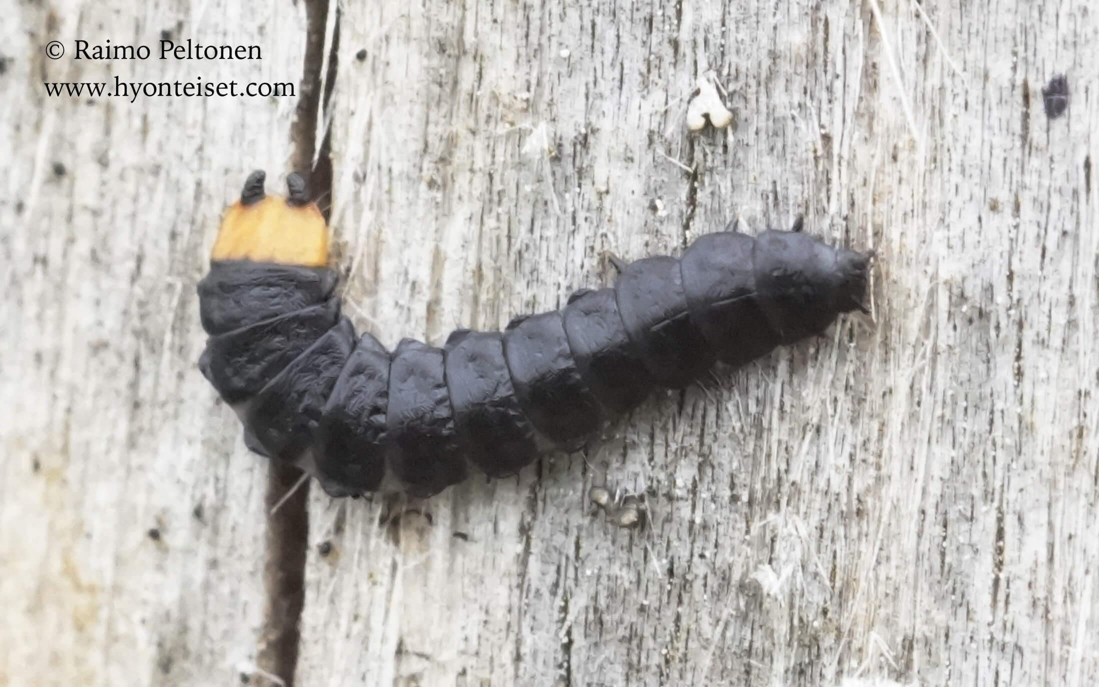Lygistopterus sanguineus-rusokuoriainen, toukka (det. Juhani Vesanen), 22.7.2016 Jyväskylä