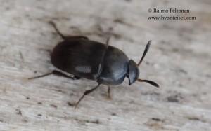 Ptomaphagus sp.