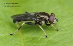 Xylota cf. jakotorum 3