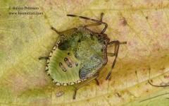 Acanthosoma haemorrhoidale 3