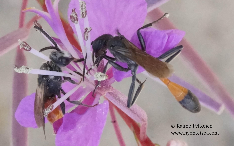 Ammophila sabulosa, naaras (oik.) (+ Sphecodes albilabris, koiras) (det. Juho Paukkunen), 17.8.2016 Laukaa