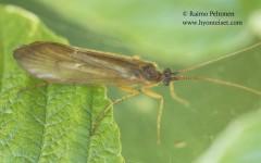Anabolia laevis 1