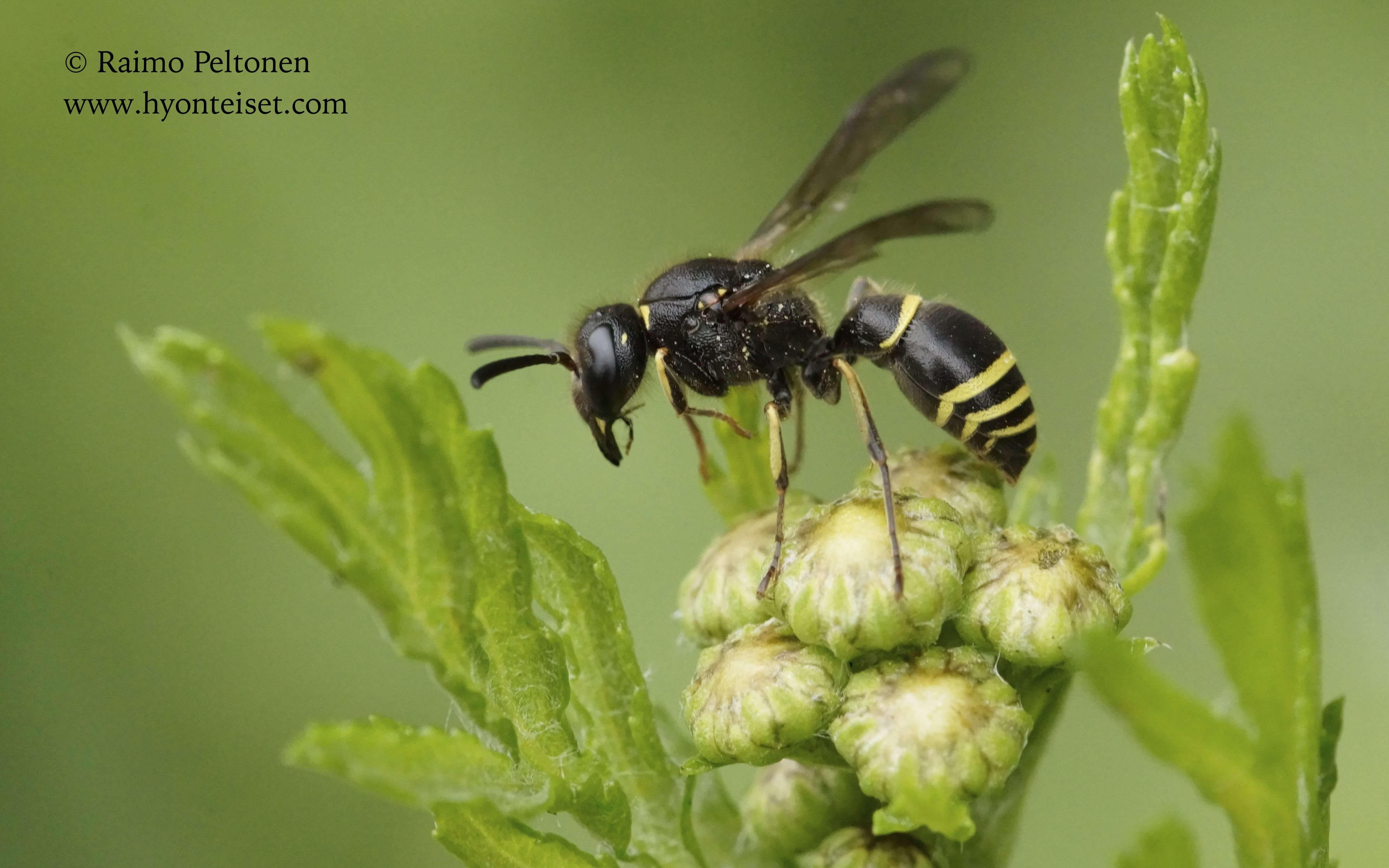 Ancistrocerus cf. claripennis, naaras (det. Juho Paukkunen), 14.7.2015 Jyväskylä
