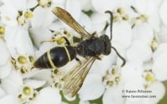Ancistrocerus trifasciatus 2