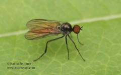 Bicellaria sp. 1