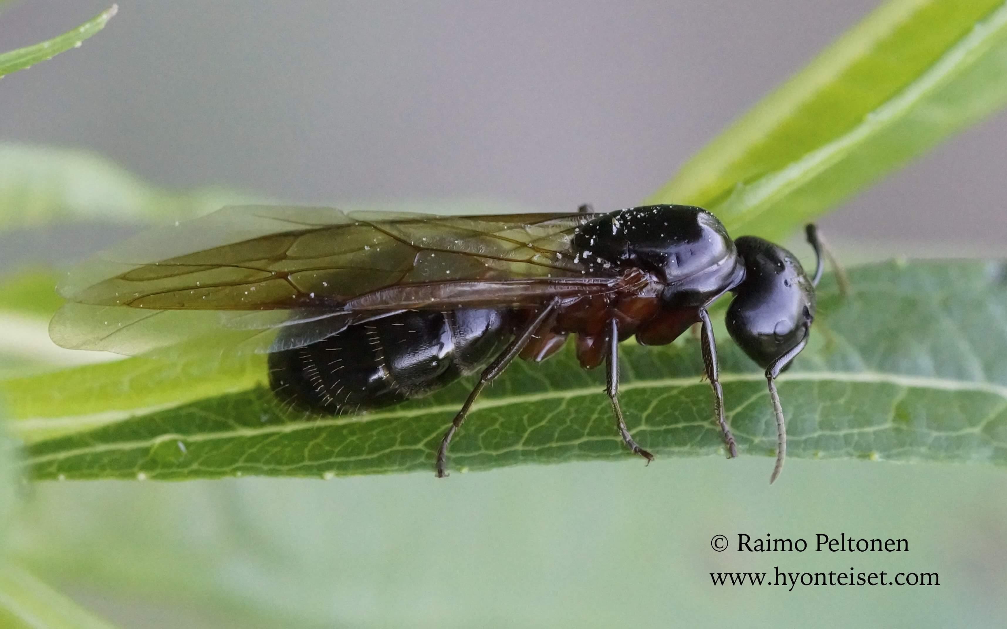 Camponotus herculeanus-aitohevosmuurahainen, kuningatar (det. Juho Paukkunen), 3.7.2015 Jyväskylä