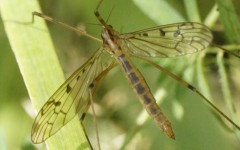 Metalimnobia quadrinotata/zetterstedti/tenua 2