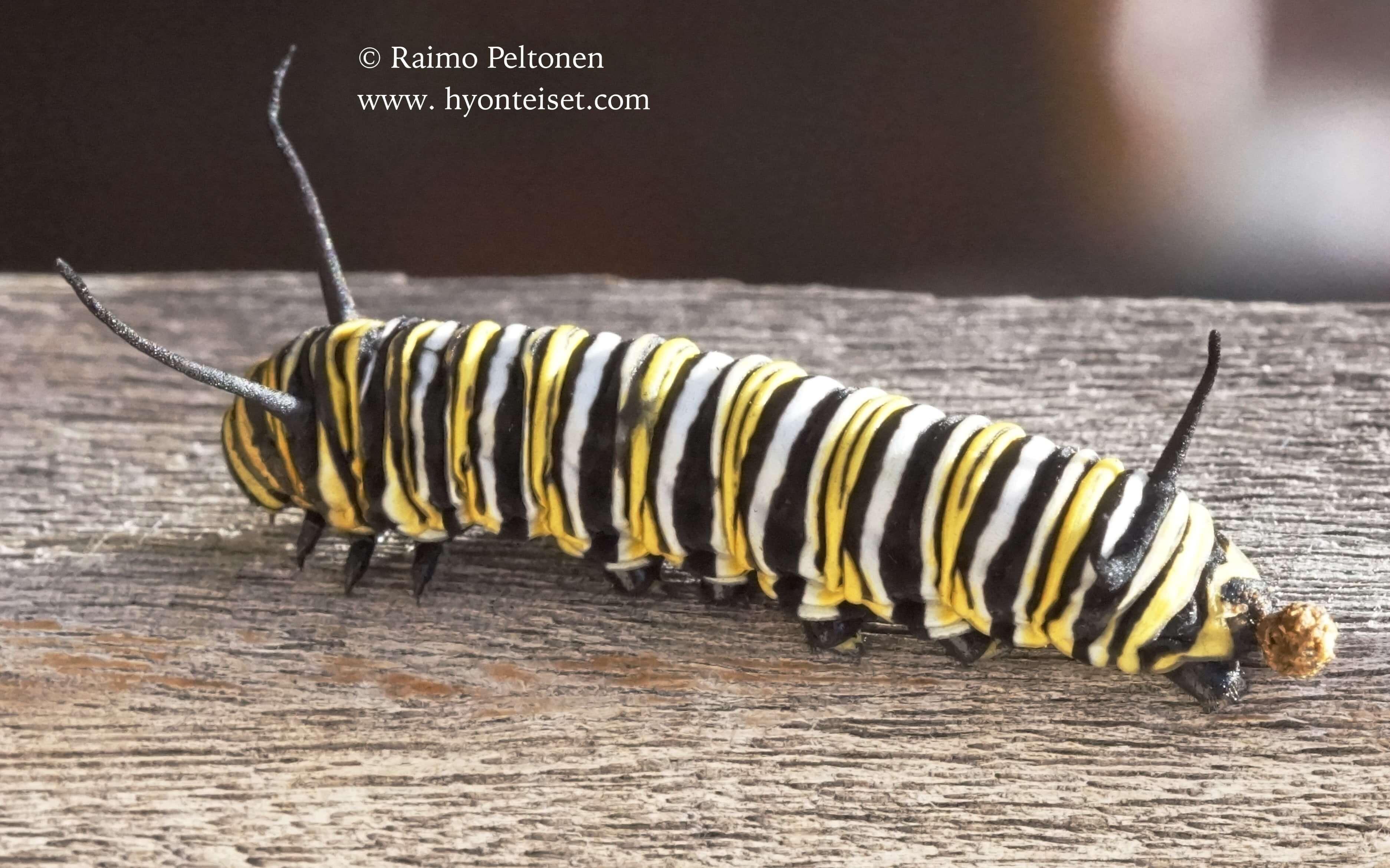 Danaus plexippus-monarkki, toukka (det. Tony Irwin), 19.4.2016 MADEIRA