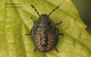 Dolycoris baccarum 3
