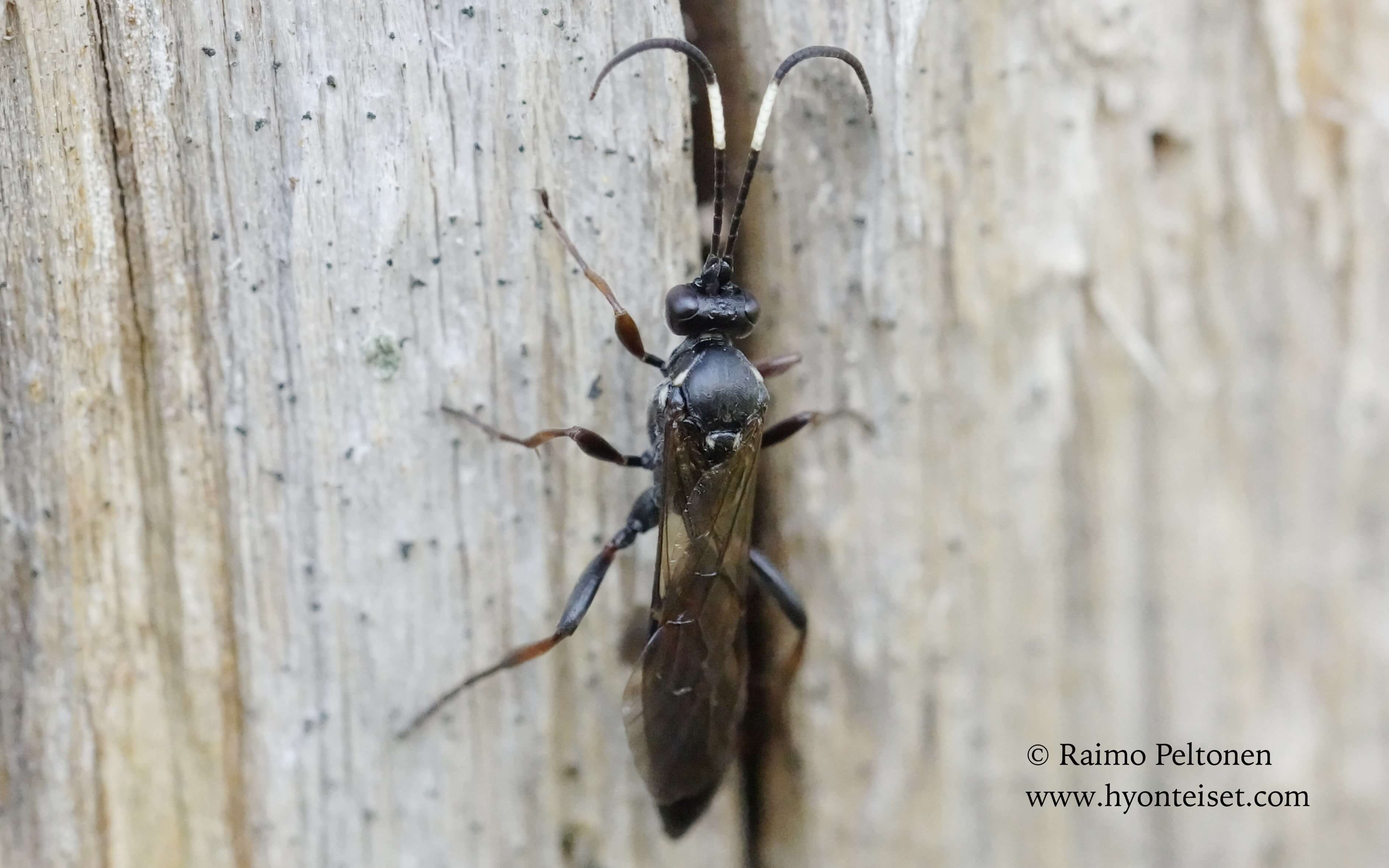 Ichneumoninae sp. (det. Gergely Varkonyi), 6.5.16 Patvinsuon kansallispuisto