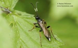 Ichneumoninae sp. 3