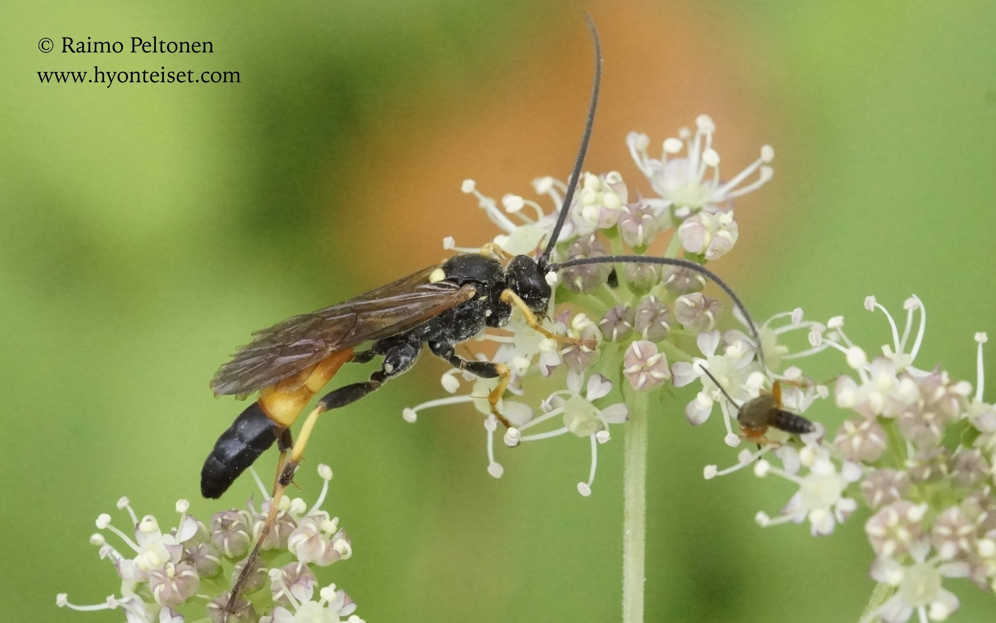 Ichneumoninae sp. (det. Gergely Varkonyi), 6.9.2016 Jyväskylä