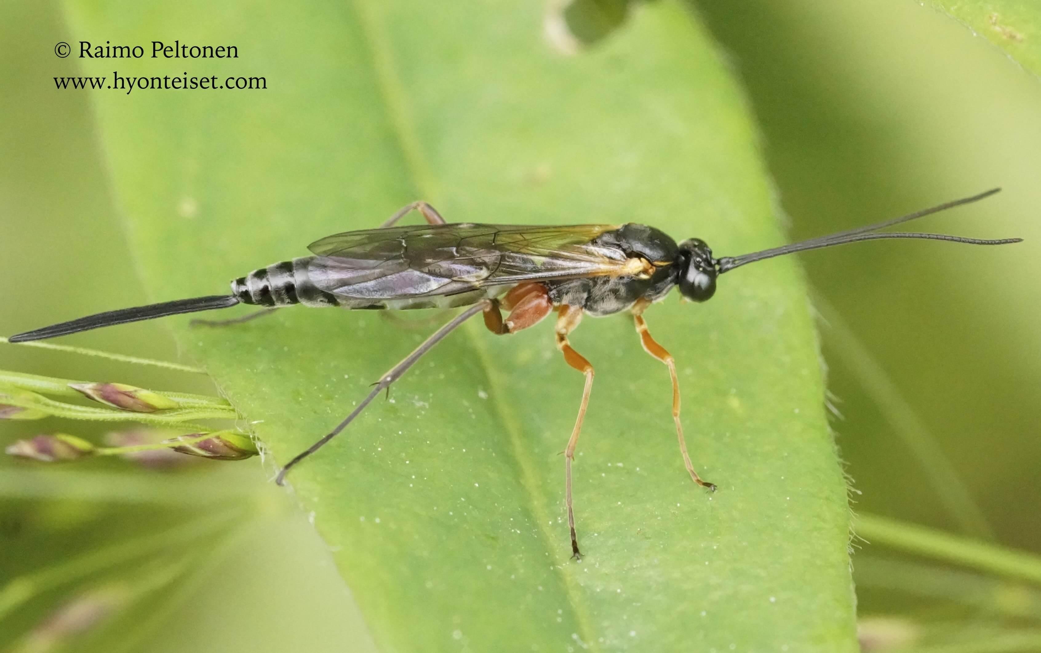 Ichneumoninae, tribus Ichneumonini (det. Gergely Varkonyi), 8.7.2015 Jyväskylä