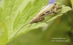 Limnephilus binotatus 1