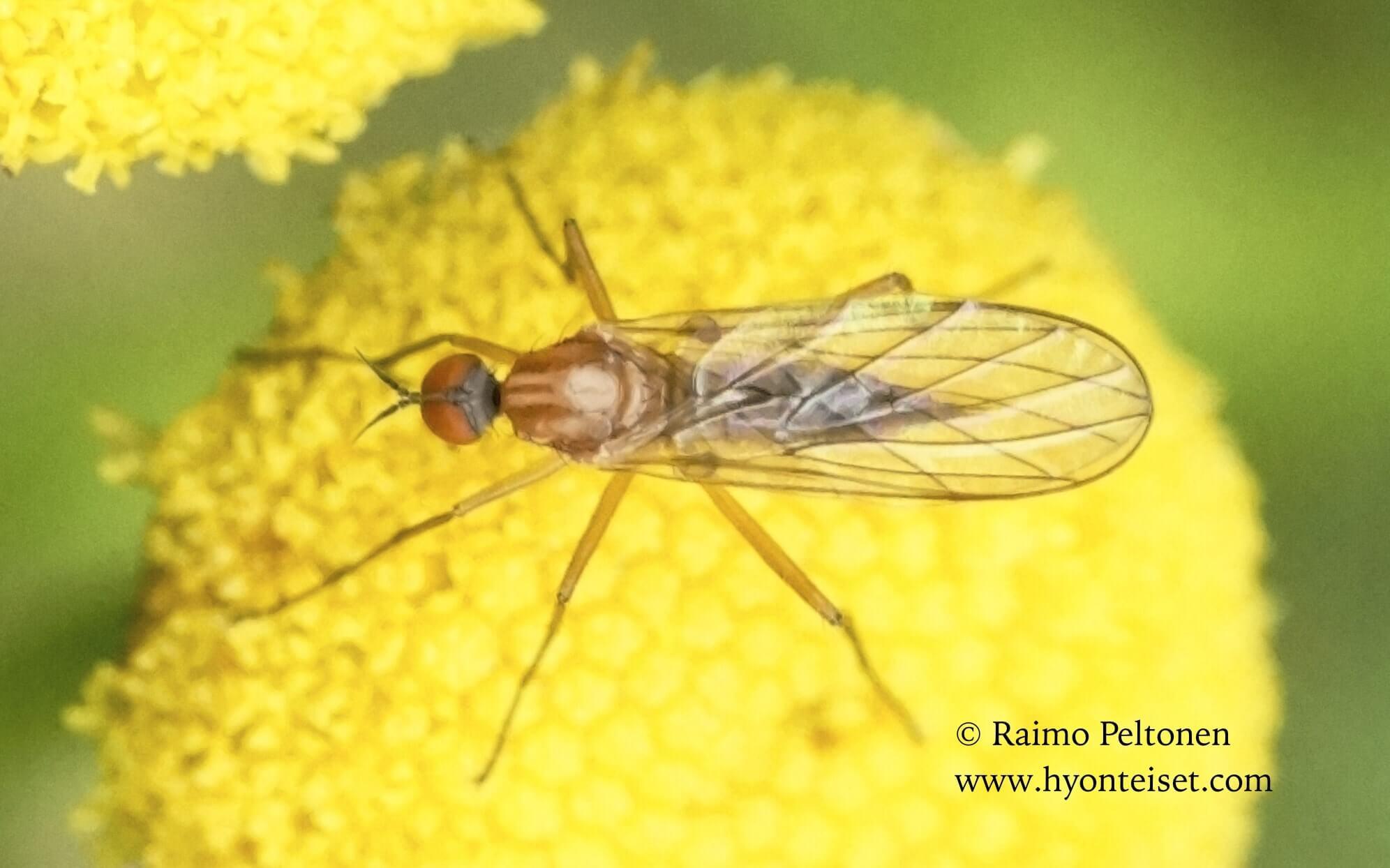 Rhamphomyia cf. variabilis (det. Paul Beuk), 17.6.2015 Jyväskylä