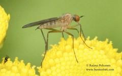 Rhamphomyia cf. variabilis 2