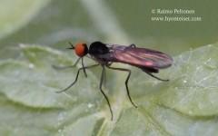 Rhamphomyia nigripennis group