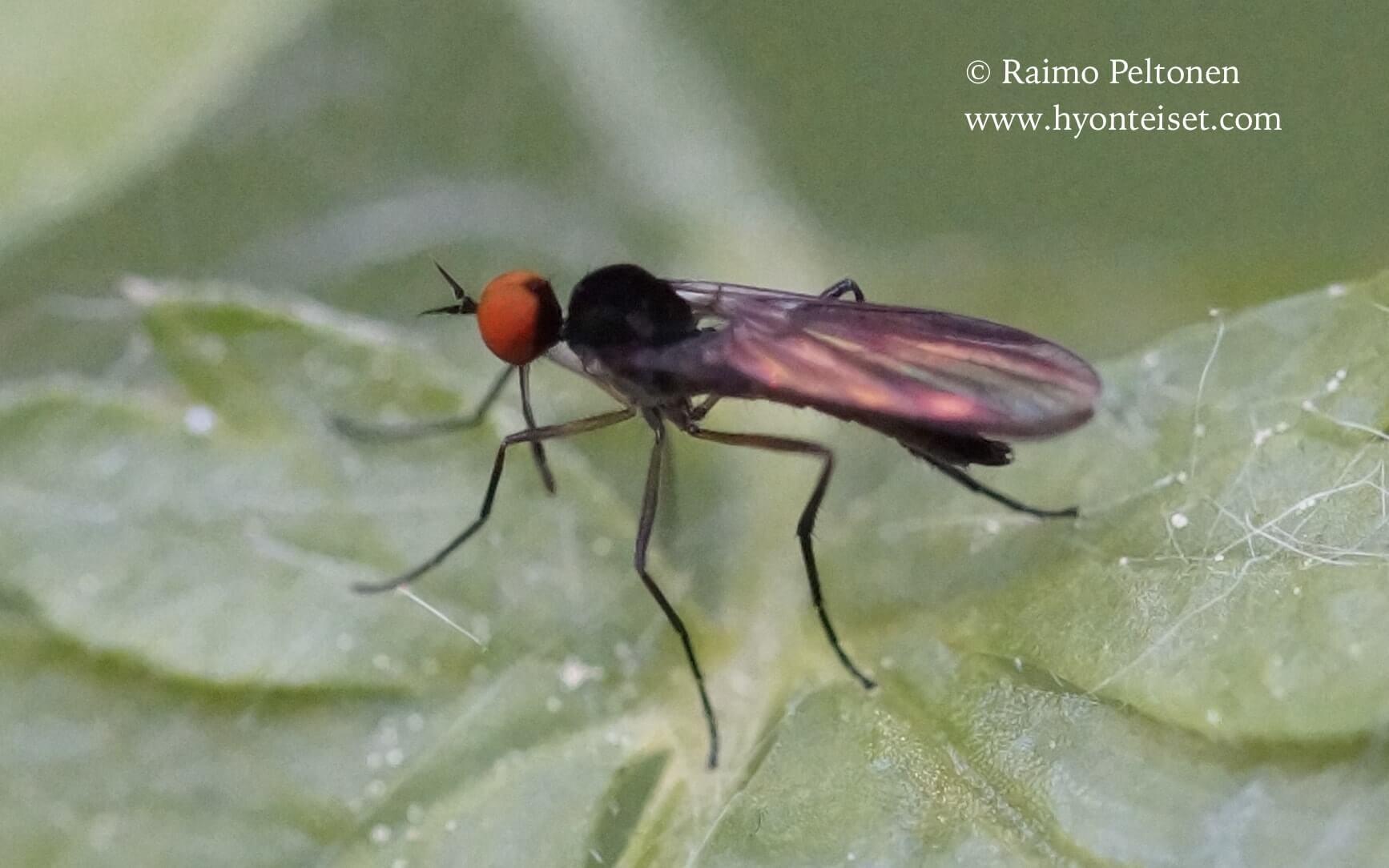 Rhamphomyia nigripennis group (det. Paul Beuk), 22.8.2015 Jyväskylä