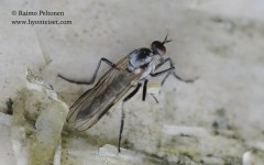 Rhamphomyia (Megacyttarus) sp. 2