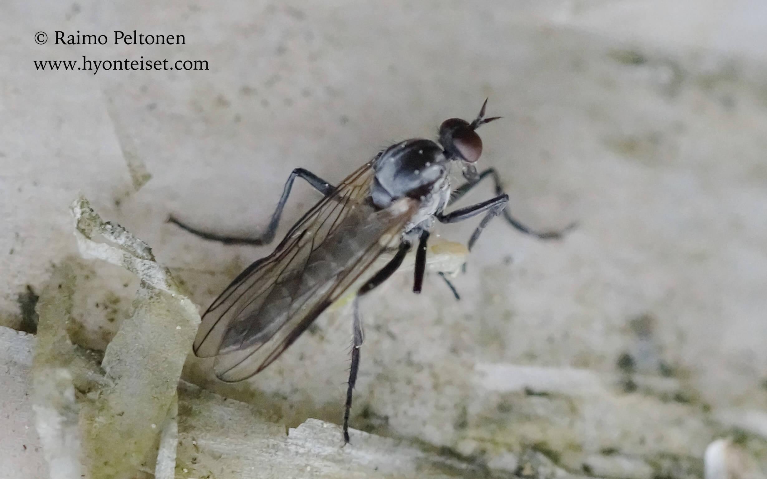 Rhamphomyia (Megacyttarus) (det. John Carr), 26.5.2016 Jyväskylä