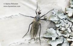 Rhamphomyia (Megacyttarus) sp. 1