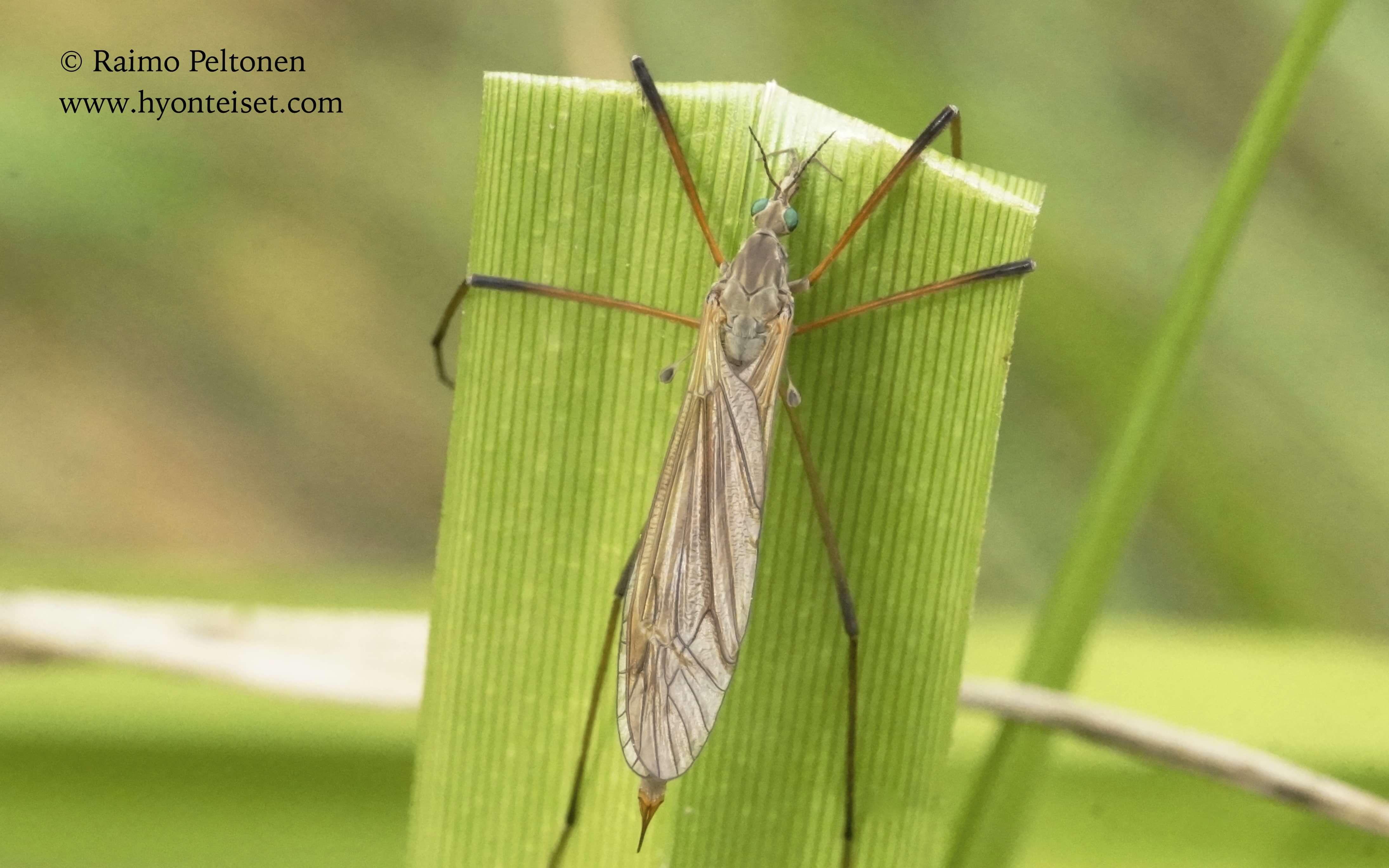 Tipula cf. luteipennis-luhtavälkekirsikäs (det. Esko Viitanen), 1.9.2016 Jyväskylä