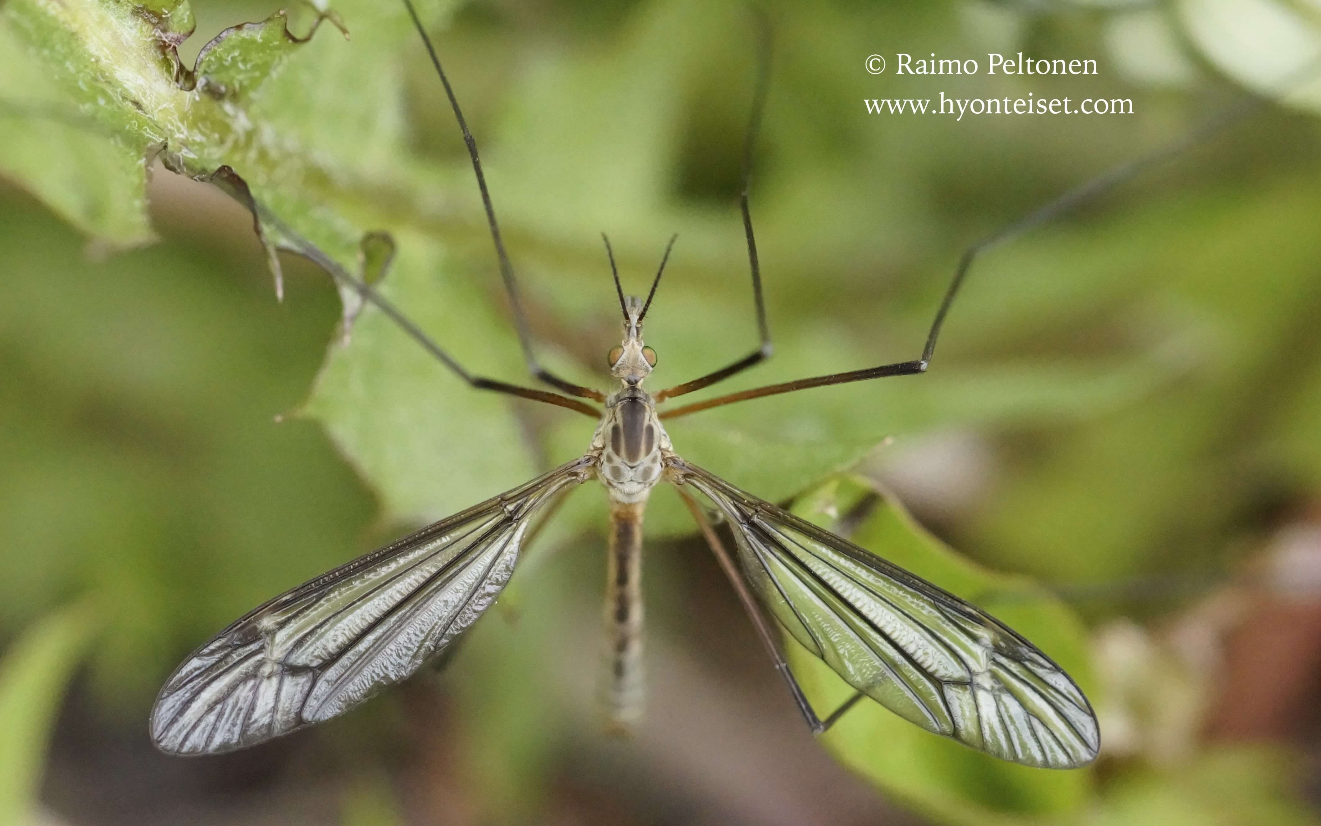 Tipula cf. vernalis (det. Esko Viitanen), 25.5.2015 Naantali