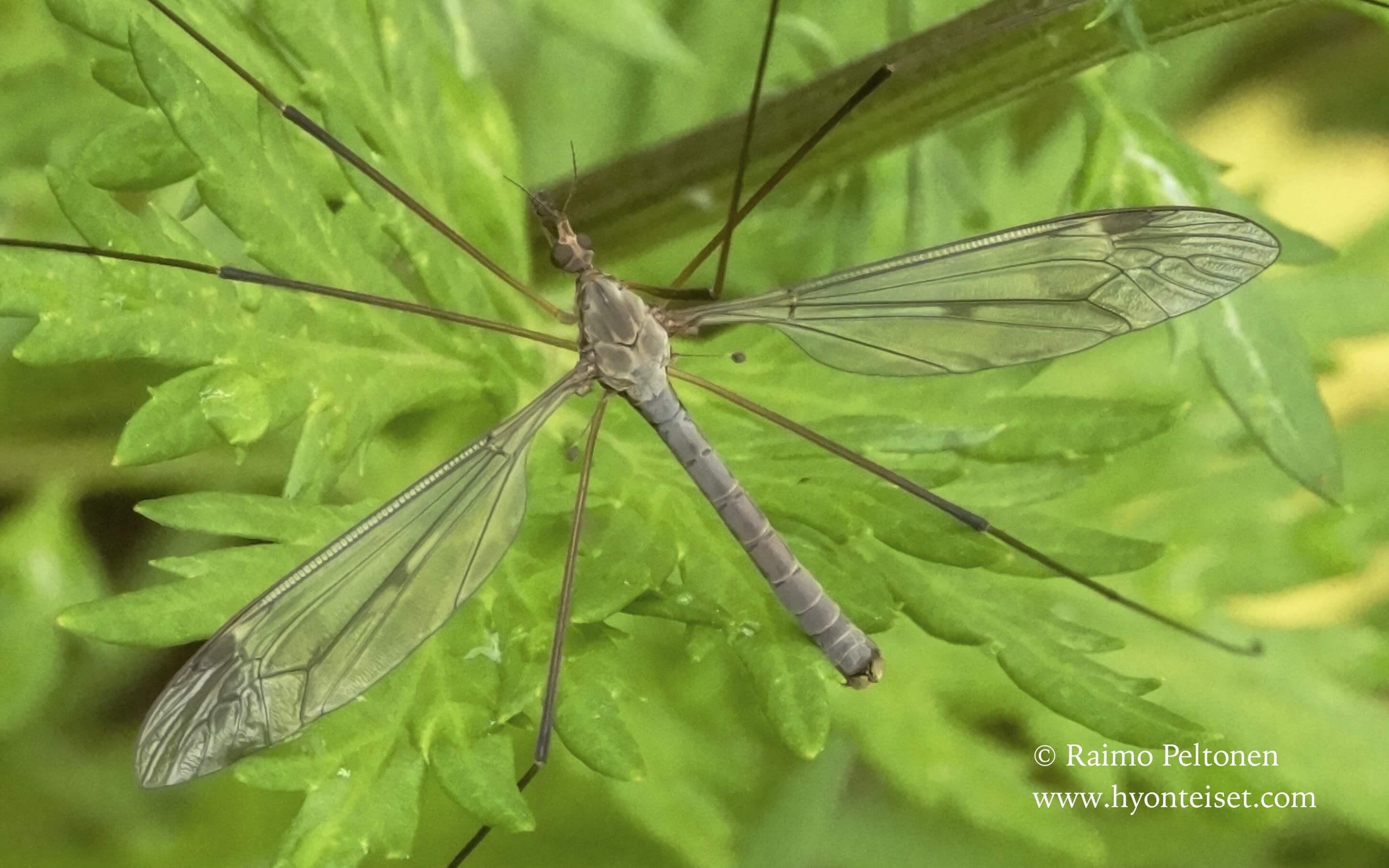 Tipula fulvipennis-kangasjortikka (det. Esko Viitanen), 24.6.2016 Jyväskylä