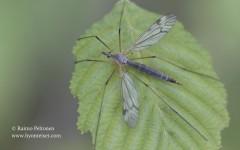 Tipula sp. sg. Pterelachisus