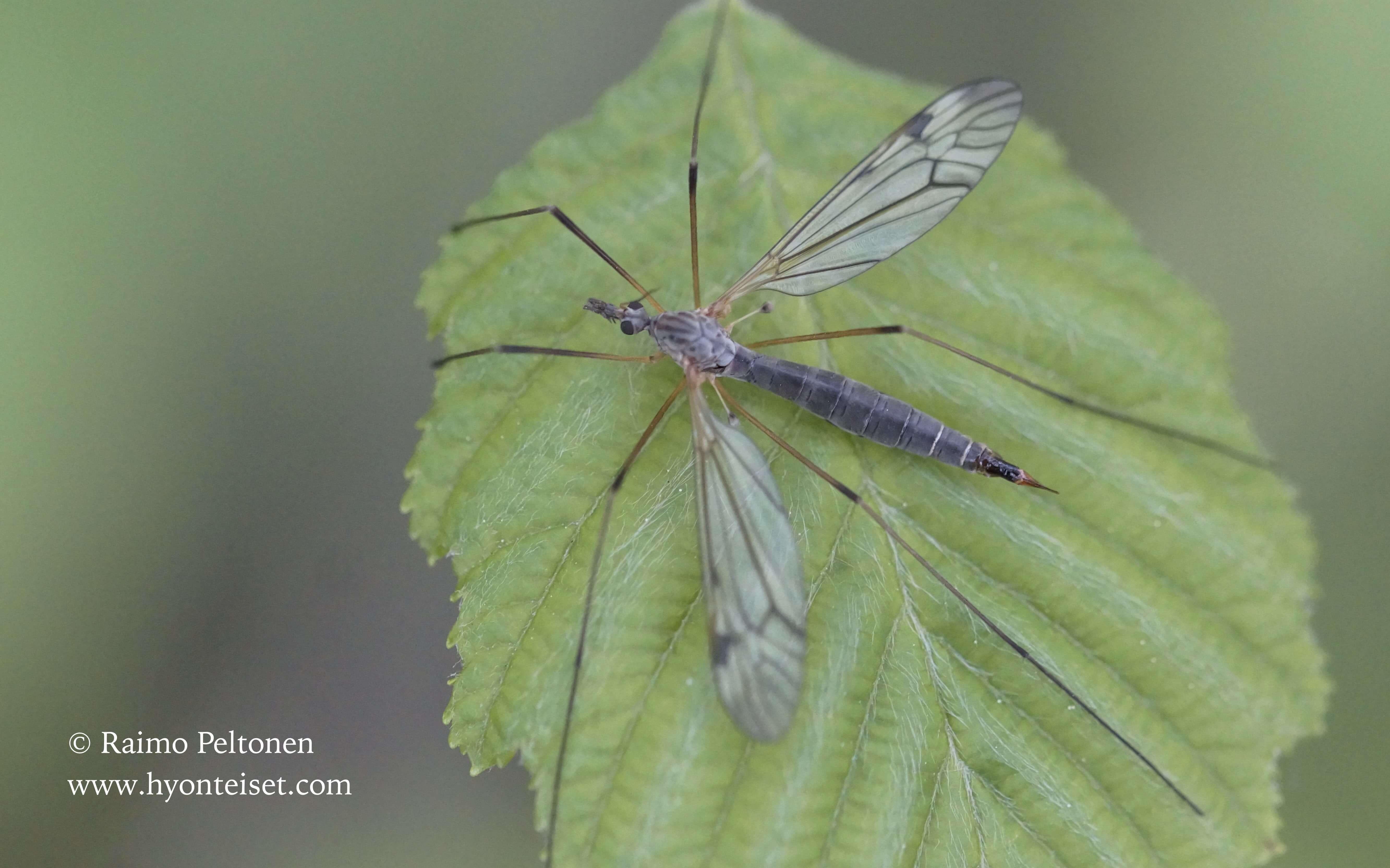 Tipula sp. sg. Pterelachisus (det. Esko Viitanen), 30.5.2015 Jyväskylä