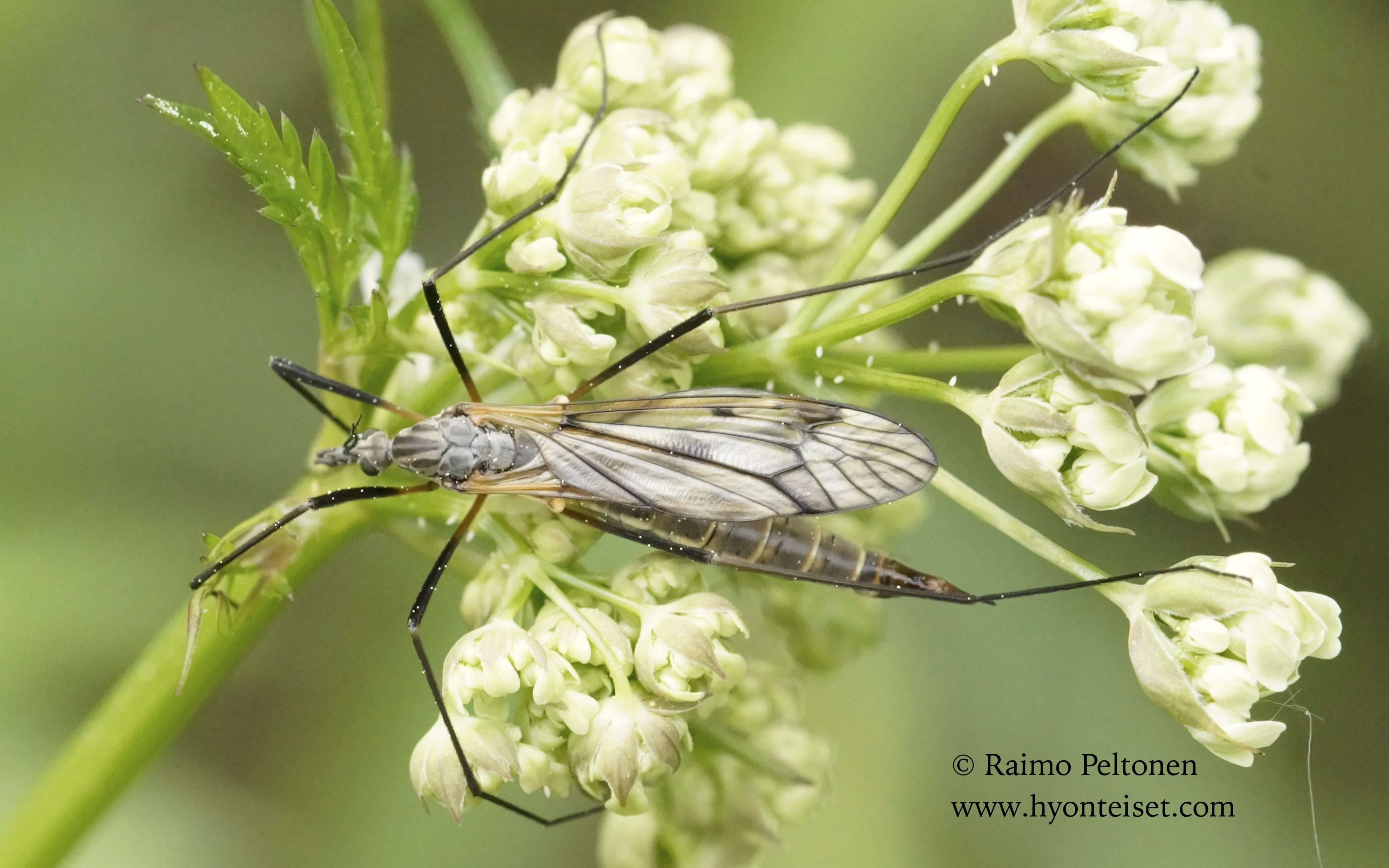 Tipula varipennis-polkukirjokirsikäs, 16.6.2015 Jyväskylä