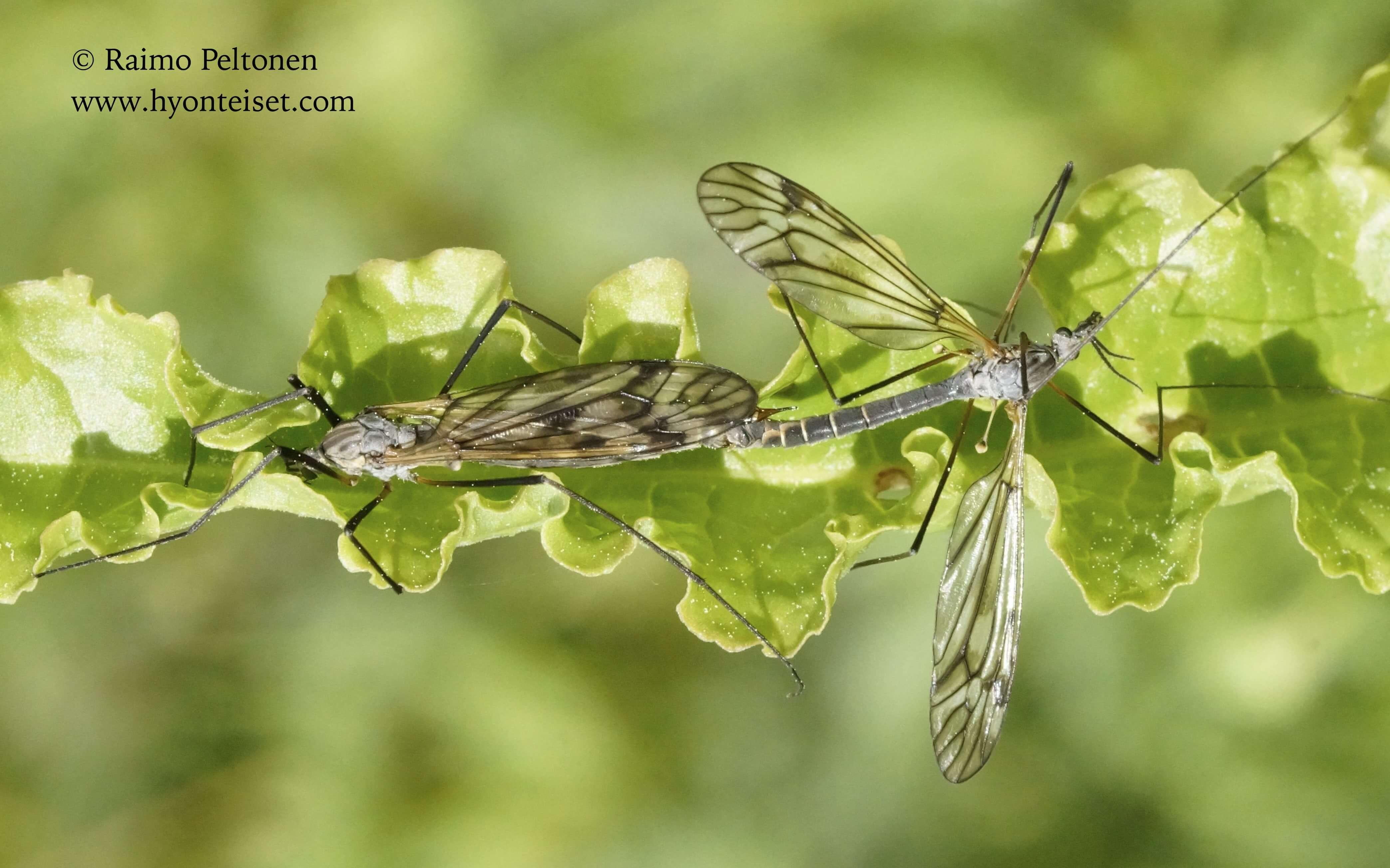 Tipula varipennis-polkukirjokirsikäs (det. Esko Viitanen), 16.6.2015 Jyväskylä