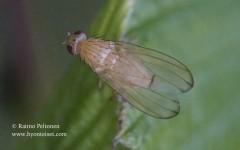 Tricholauxania praeusta 1