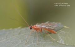 cf. Absyrtus vicinator