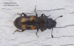 Glischrochilus quadripunctatus 1