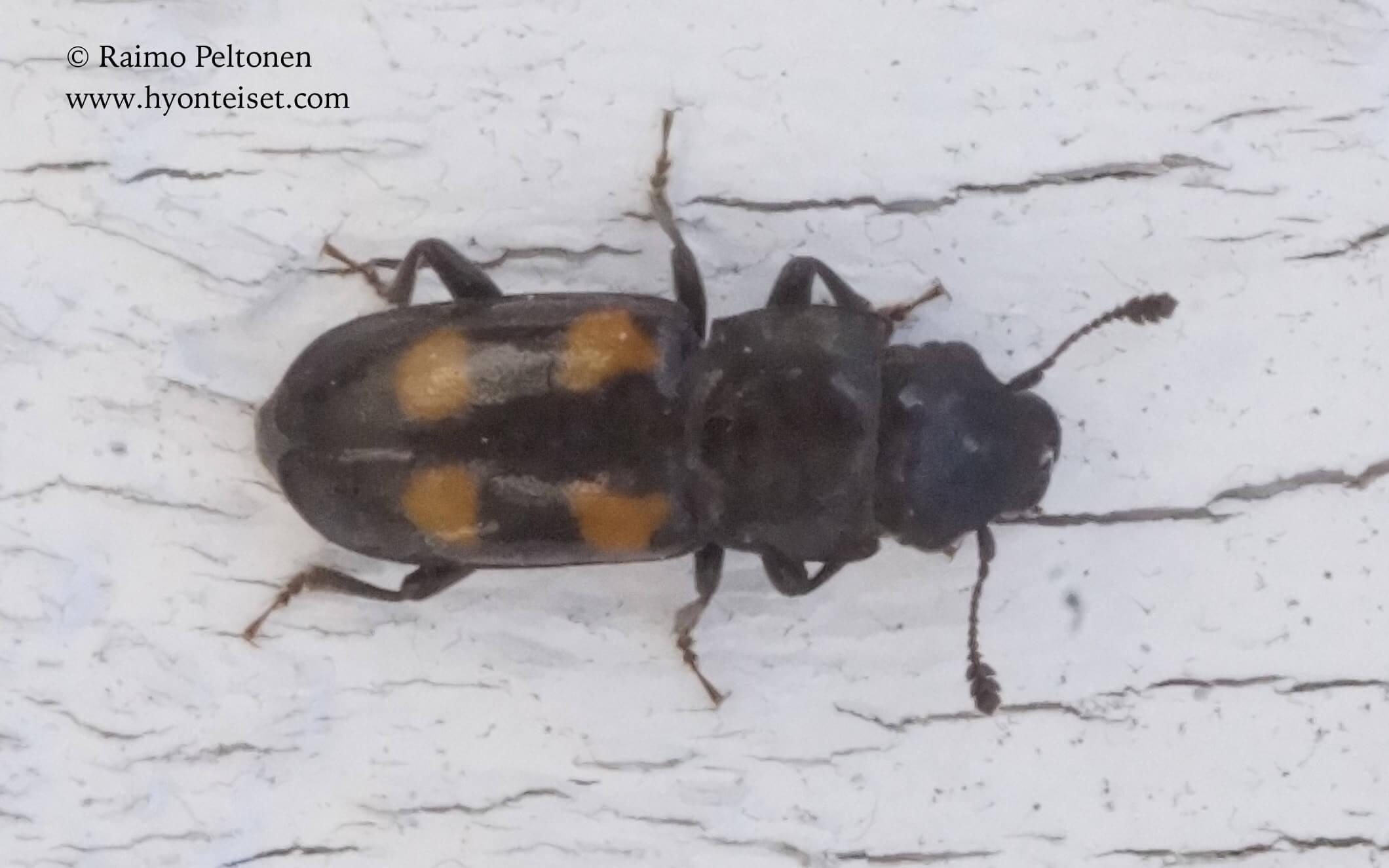 Glischrochilus quadripunctatus-litteämäihiäinen, 16.3.2017 Jyväskylä