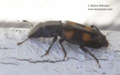 Glischrochilus quadripunctatus 2