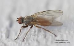 Heleomyza serrata 2