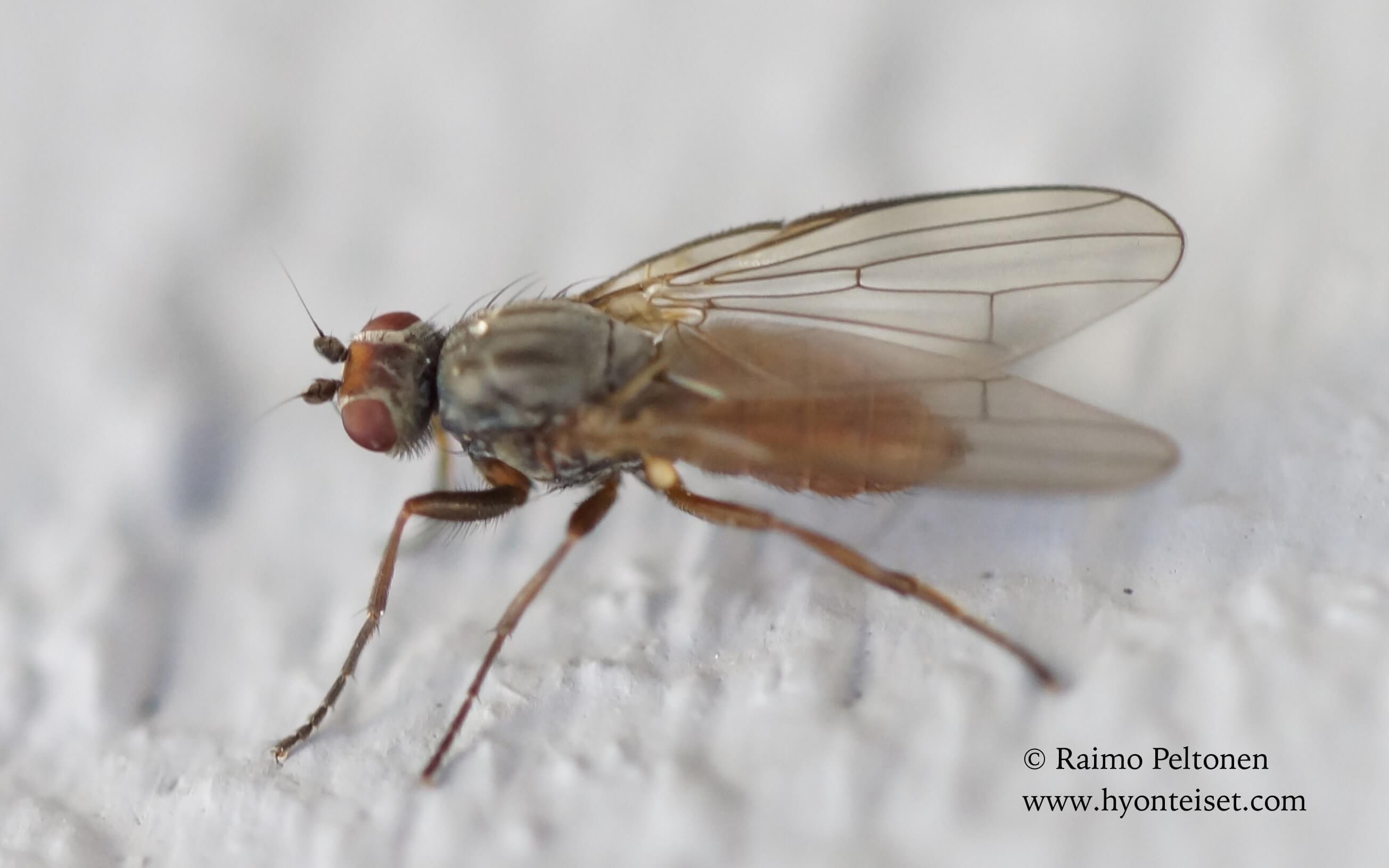 Heleomyza serrata (conf. Andrzej Woznica), 11.3.2017 Jyväskylä