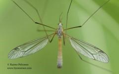 Tipula cf. flavolineata