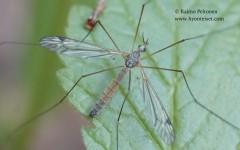 Tipula sp. sg. Savtshenkia 1