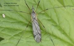 Tipula sp. sg. Savtshenkia 2
