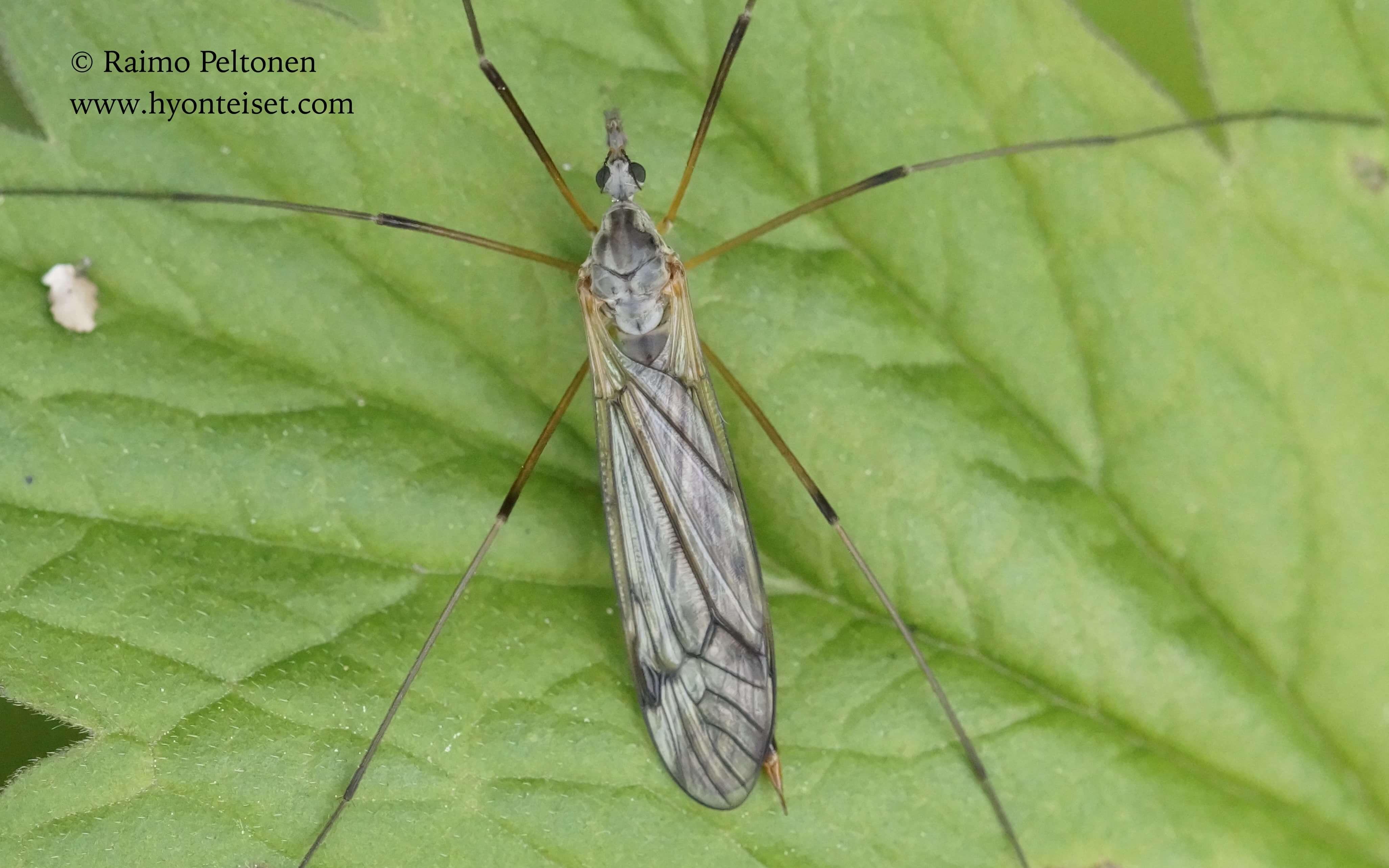 Tipula sp. sg. Savtsnekia (det. Pjotr Oosterbroek), 8.6.2015 Jyväskylä
