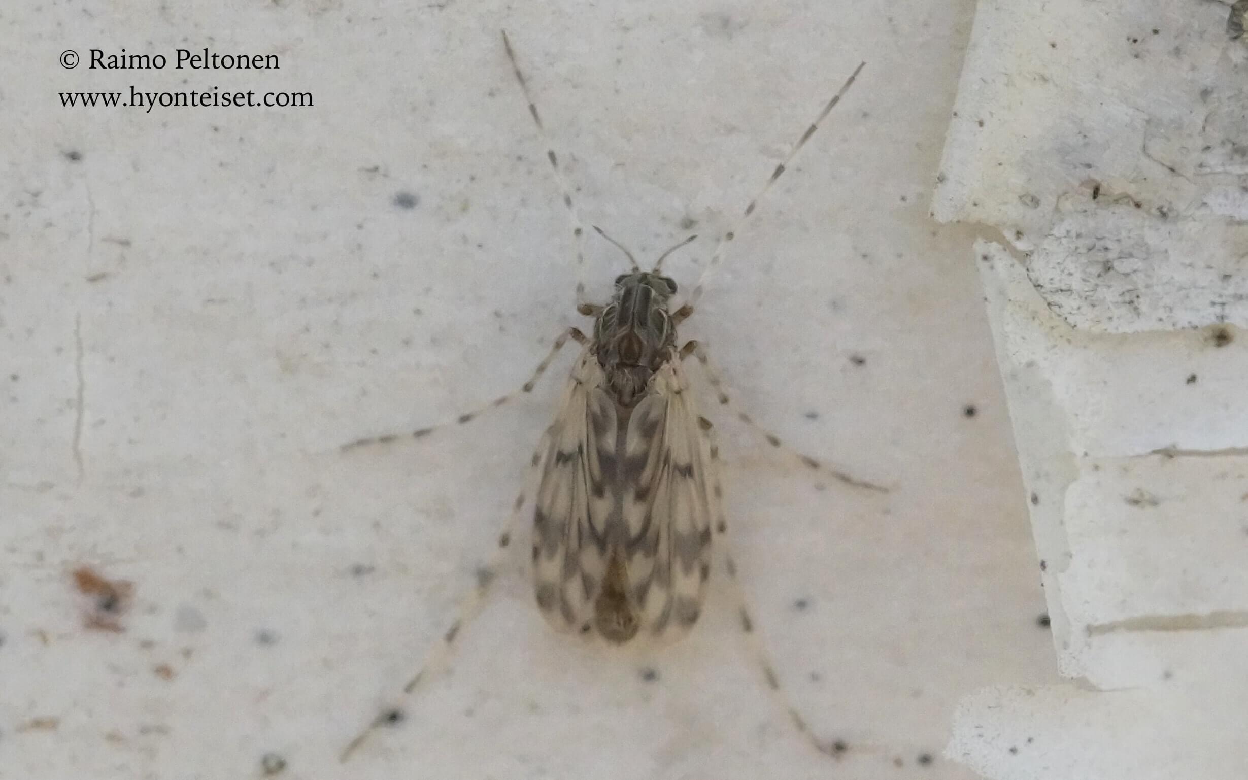 Ablabesmyia sp. (det. John Carr), 24.5.2017 Jyväskylä