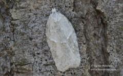Acleris logiana