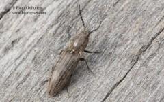 Actenicerus sjaelandicus 2